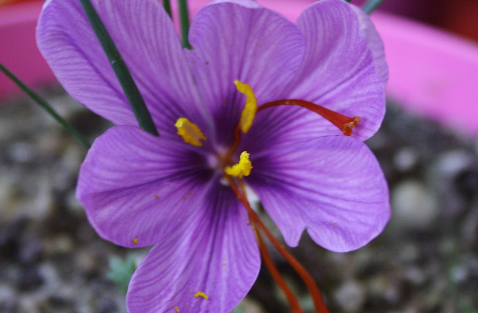 fiore-zafferano-di-cascia_019